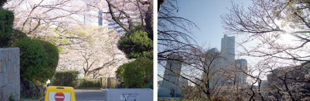 掃部山公園の桜