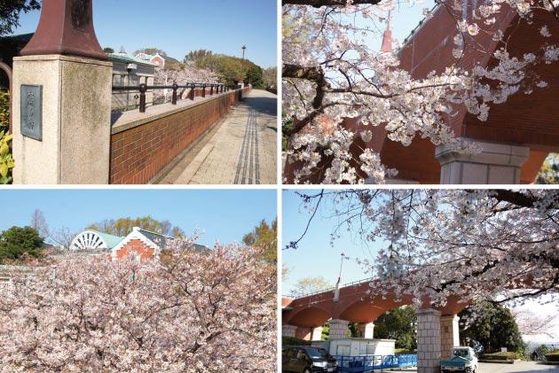 港の見える丘公園「霧笛橋」満開の桜