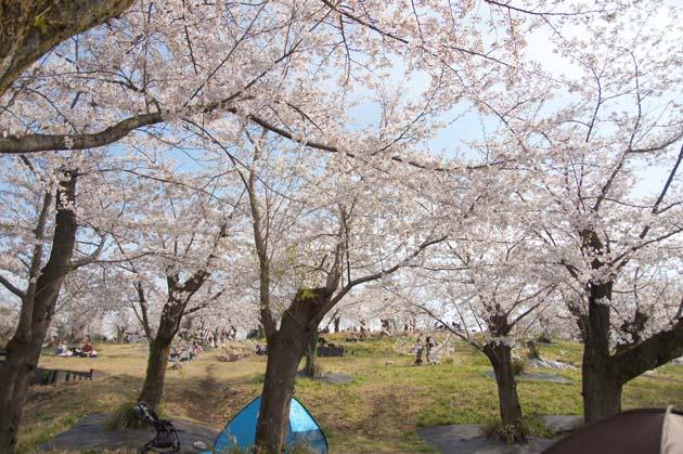 横浜市旭区 こども自然公園の桜