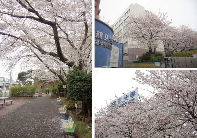横浜市鶴見区 鶴見大学の桜