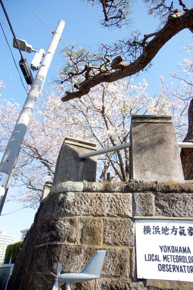横浜山手の桜 地方気象台