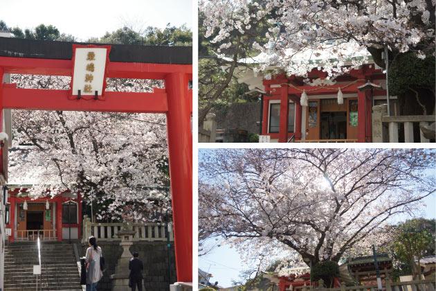 横浜山手の桜
