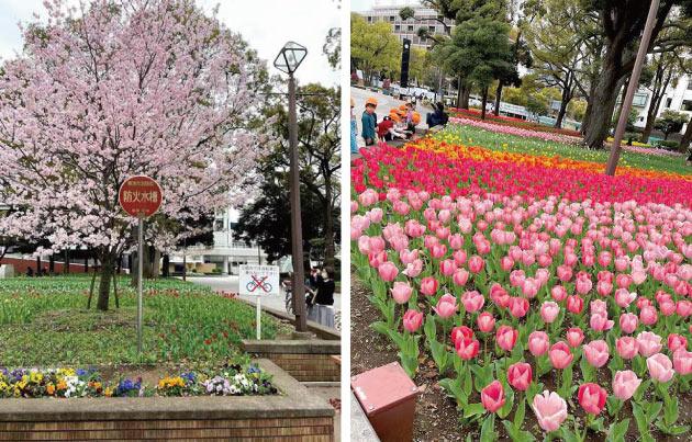 ハマスタ・横浜公園の桜とチューリップ