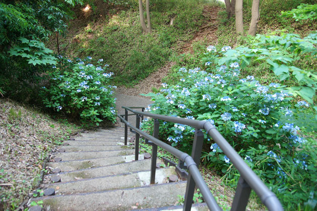 茅ヶ崎城址公園の紫陽花