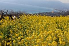 吾妻山公園 早咲きの菜の花