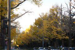 山下公園前のいちょう並木