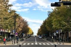日本大通りの銀杏も色づき始めた