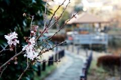 十月桜と東屋