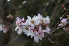 馬場花木園/十月桜