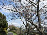 藤沢市 引地川沿い 長久保公園の桜はまだ3分咲き