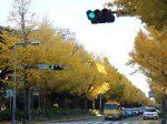 見事な黄金色に染まる、山下公園前のいちょう並木。