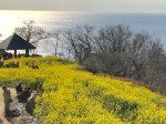 吾妻山公園の斜面いっぱいに広がる6万株の「早咲きの菜の花」