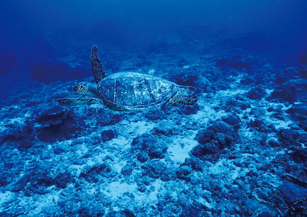 海中の海亀