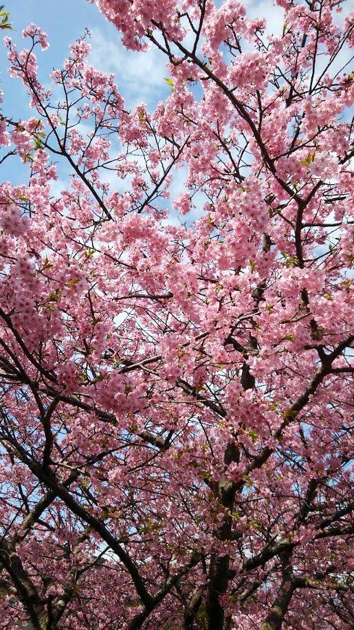 伊豆の河津桜