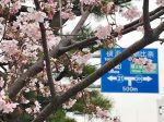 若宮大路に咲く玉縄桜
