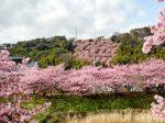 一面桜色に染まる伊豆河津町