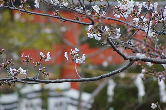 鶴岡八幡宮 春の源平池