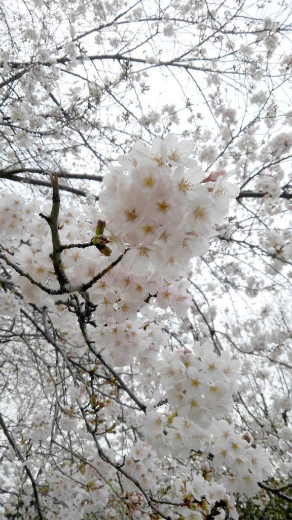 光陵公園の満開の桜