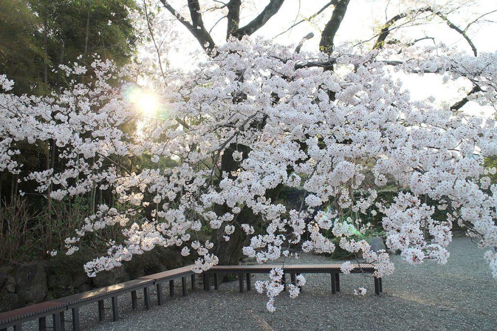 大岡越前の菩提寺 大きな桜の木が有名な茅ヶ崎 浄見寺