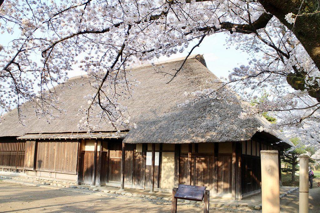 茅ヶ崎 堤 旧和田家住宅の桜