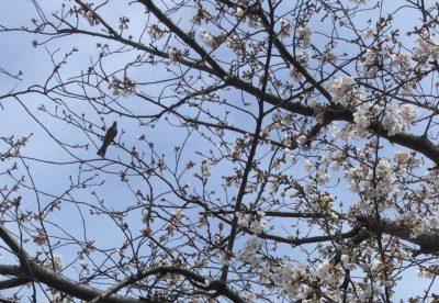 茅ヶ崎一丁目 千ノ川 河川沿いの桜並木
