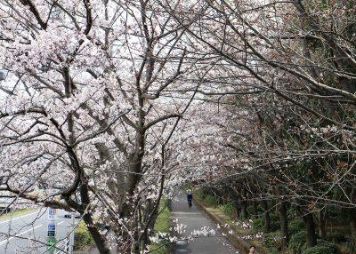 茅ヶ崎中央公園 公園外の歩道の桜並木