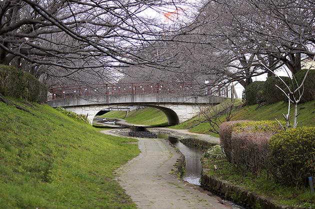 都筑区 江川せせらぎ緑道。ソメイヨシノのつぼみはまだまだ固い。