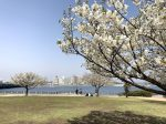 江の島湘南港北緑地公園の桜