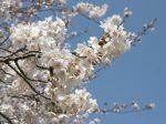 藤沢 奥田公園裏の桜