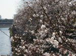 藤沢駅から続く境川沿いの桜並木