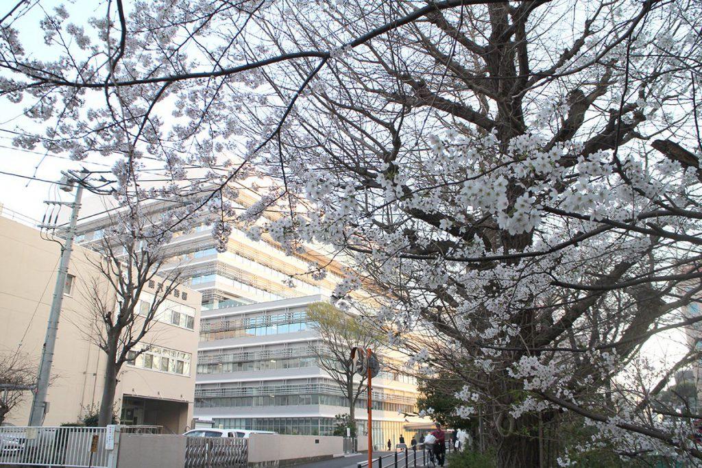 新しくなった藤沢市役所と桜