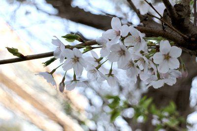 新しくなった藤沢市庁舎と桜