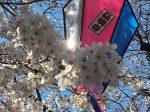 弘明寺 大岡川の桜