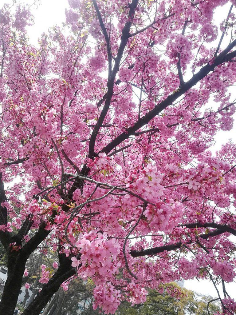 横浜公園の満開の横浜緋桜