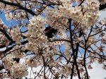 平塚駅西口 駅前 駐輪場脇の公園の桜