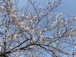 平塚 八重咲町公園の桜
