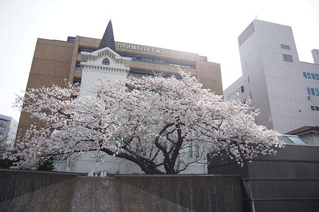横浜海岸教会の一本桜