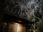 日本料理鶴寿に咲く桜