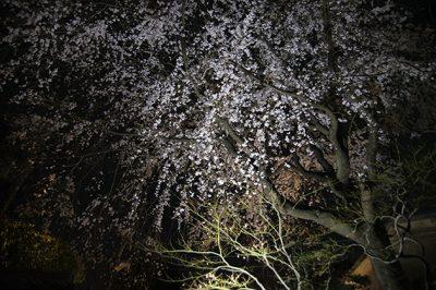 鶴寿の夜桜