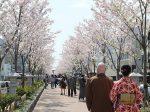 鎌倉 若宮大路 二の鳥居から鶴岡八幡宮までの段葛。満開でした。