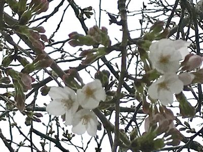 鎌倉駅西口 線路沿いの桜
