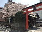 関内 厳島神社の桜