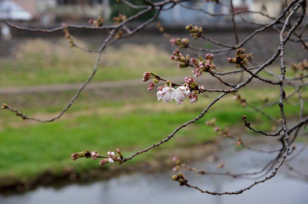 戸塚 柏尾川のソメイヨシノ