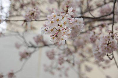 戸塚区 柏尾川の桜