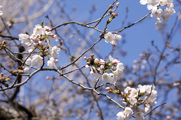神奈川区桐畑公園の桜