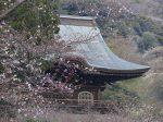 鎌倉 建長寺 開花の始まった桜