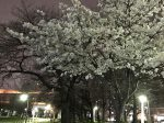 蒔田公園 夜桜