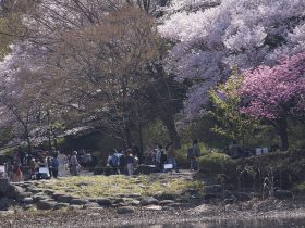 神奈川県立 三ツ池公園の桜