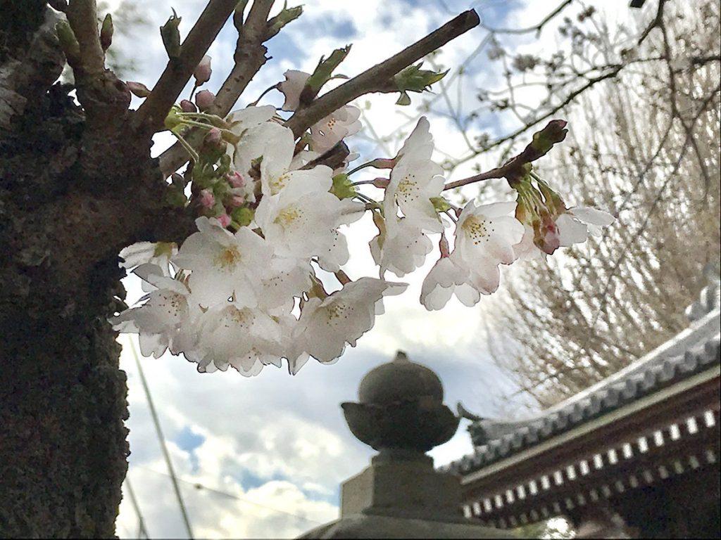 龍口寺門前の桜