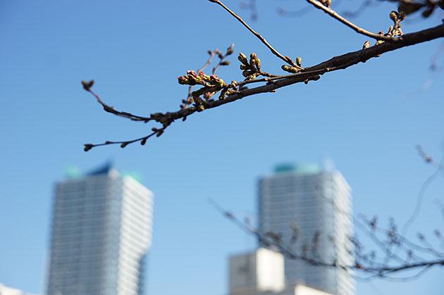 幸ヶ谷公園の桜